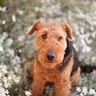 Welsh Terrier / Snow in Summer by Christopher Cullen