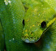 Green Tree Python by Thea 65