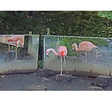 Ballet De Flamingo Photographic Print