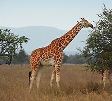 Rothschild's Giraffe Feeding, Lake nakuru, Kenya by Carole-Anne