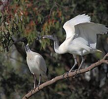 Feed Me Mum: Australian White Ibis Begging by Carole-Anne