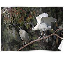 Feed Me Mum: Australian White Ibis Begging Poster