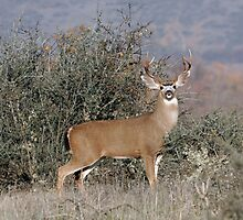 Black Tail Buck Deer - 7723 by BartElder