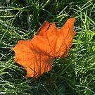 Backlit Autumn Leaf by MidnightMelody