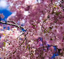 Sakura by cainphotography
