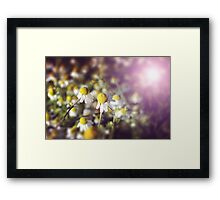 Flower background: daisies in the sun Framed Print