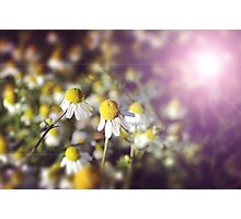 Flower background: daisies in the sun Photographic Print