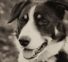 The world's friendliest sheep dog Sticker