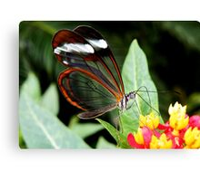 Glasswing Butterfly on Santana Canvas Print