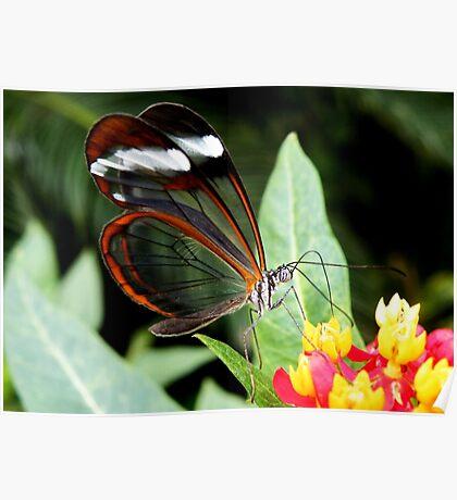 Glasswing Butterfly on Santana Poster