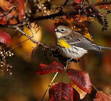 Yellow-rumped Warbler by Rob Lavoie