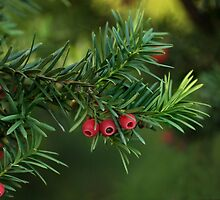 Taxus baccata by Irina777