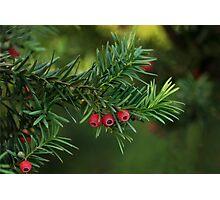 Taxus baccata Photographic Print