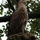 White-tailed Eagle by artddicted