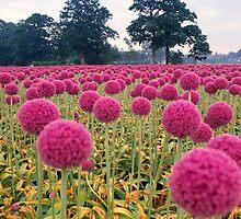 Field of Pink Onions, Wassenaar in the Schieland Region, Holland, The Netherlands by alex25