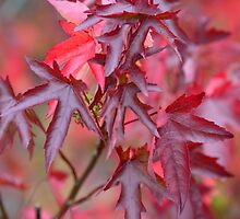 Autumn Acer Tree by Nick Jenkins