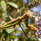 Chinese Mantis by Otto Danby II