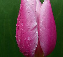 Droplets on a Pink Tulip by Forfarlass