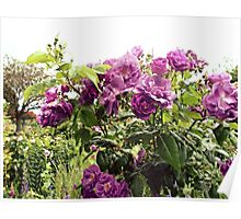 Group of purple flowers. Poster