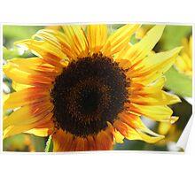 Sunflower 10 Poster