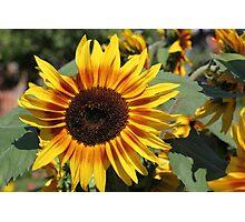 Sunflower 11 Photographic Print