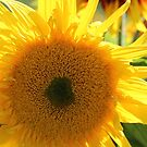 Sunflower 12 by marybedy