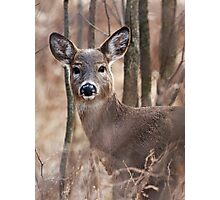 Female White-tailed Deer Photographic Print