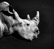 White rhinoceros by Anna Phillips