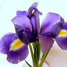 Iris - blue wonder by bubblehex08