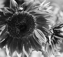Sunflower 15 BW by marybedy
