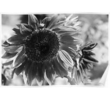 Sunflower 15 BW Poster