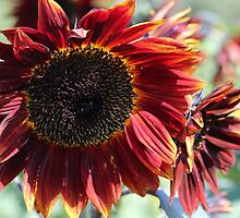 Sunflower 15 by marybedy