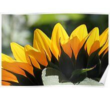 Sunflower 16 Poster