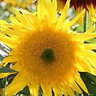 Sunflower 19 by marybedy