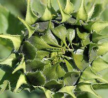 Sunflower Awakening by marybedy