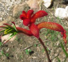 Fluffy Red Kangaroo Paw! 'Arilka' Mount Pleasant. Adelaide Hills. by Rita Blom