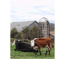 Country Cows Say Moo Photographic Print