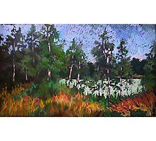 Birches around a lake Photographic Print