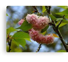 Flowering Cherry Canvas Print