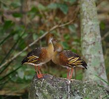 Plumed Whistling Duck by wayne51