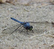 Blue Dragonfly In The Sand by Michelle Burley