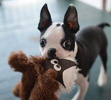 Boston terrier by Nic MacBean
