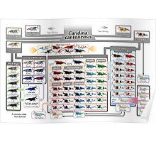 Caridina cantonensis Family Tree Poster