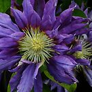 Clematis by Gabrielle  Lees