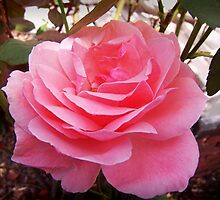Summer Rose by James Brotherton