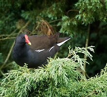 Moorhen by Country  Pursuits