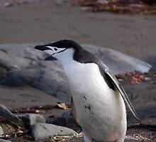Chinstrap penguin by rosiwinn