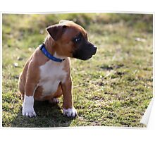 Staffordshire Bull-Terrier Puppy Poster