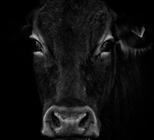 cow by gymstedhead