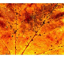 Fall maple leaf texture Photographic Print